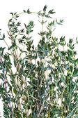 Fresh thyme close up isolated on white background — Stock Photo