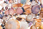Many sea shells — Stock Photo