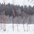 Stock Photo: Birchs on winter snow forest edge