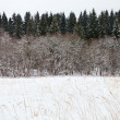 Margin spruce forest in winter — Stock Photo