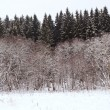 Edge of a spruce forest in winter — 图库照片