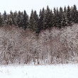Edge of a spruce forest in winter — Stock Photo