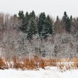 Snowed spruce forest edge — Stock Photo