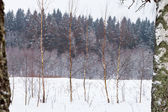 Birchs on winter snow forest edge — Stock Photo