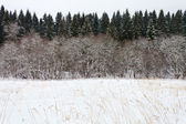 Margin spruce forest in winter — Stock Photo