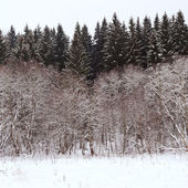 冬のトウヒ林森の端 — ストック写真