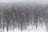 Snow storm under oak forest — Stock Photo