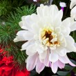Stock Photo: White chrysanthemum in flower bouquet