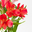 Stock Photo: Bouquet from red alstroemeriflowers