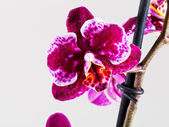 Orchid flower close up — Stock Photo