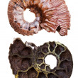 Two sides of mineral fossil ammonite shell — Stock Photo #28625193