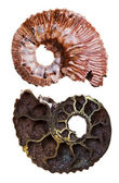 Two sides of mineral fossil ammonite shell — Stock Photo