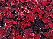 Decorative coleus leaves — Stock Photo