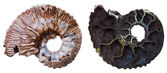 Two sides of Fossil ammonite shell — Stock Photo