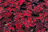 Listy dekorativní červené coleus — Stock fotografie