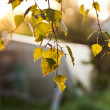 Stock Photo: Autumn morning sun lights yellow leaves