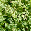 Green twigs of sedum plant — Stock Photo