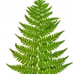 Green sprig of fern — Stock Photo #30057745