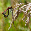 Couple of red dragonfly — Stock Photo #30058165