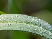 Morning dew on green leaf of carex — Stock Photo