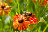 Honey bee collects nectar from gaillardia flower — Stock Photo
