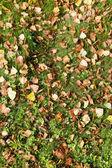 Autunno betulla foglie sul prato verde — Foto Stock