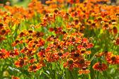 Floração cama de flor gaillardia — Foto Stock
