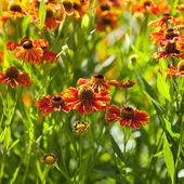 Gaillardia flower close up — Stock Photo