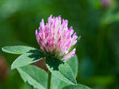 Flower of red clover — Stock Photo