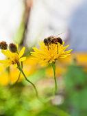 Honey bee gather nectar from yellow flower — Stock Photo
