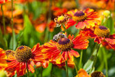 Honey bee sips nectar from gaillardia flower — Stock Photo
