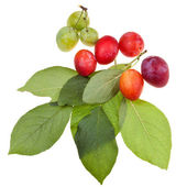 Green plum tree leaves and plums — Stock Photo