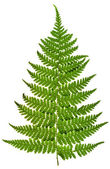 Green sprig of fern — Stock Photo