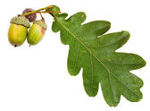 Green oak leaf and acorns — Stock Photo