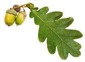 Green oak leaf and acorns — Stock Photo