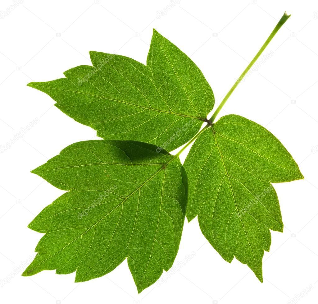 листок ясеня