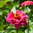 Butterfly on pink flower — Stock Photo #30313907