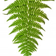 Green sprig of fern — Stock Photo #30314141