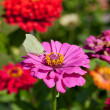 Butterfly on pink flower close up — Stock Photo #30314371