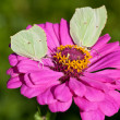 Stock Photo: Butterflies on pink flower close up