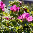 Thickets of wild rose with pink flower — Stock Photo #30314397