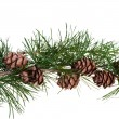Pine cones on branch of conifer tree — Stock Photo #30314685