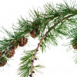 Pine cones on branch of conifer tree — Stock Photo #30314691