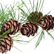 Pine cones on branch of conifer tree — Stock Photo #30314695