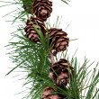 Pine cones on branch of conifer tree — Stock Photo #30314965