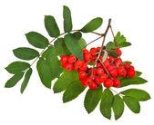 Rowan berries and green leaves — Stock Photo
