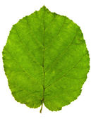 Green leaf of hazel tree — Stock Photo