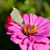 Butterfly on pink flower close up — Stock Photo