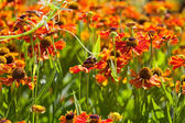 Meadow with gaillardia flowers and honey bees — Stock Photo