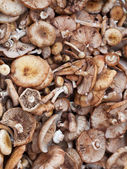 Many Scotch bonnet mushroom — Stock Photo